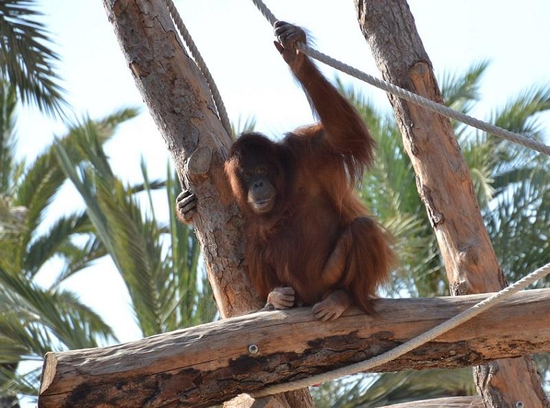 Lingga, orangután de Borneo de Río Safari Elche